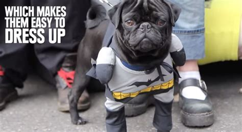 pugs info 12 fascinating facts about pugs that will make you fall in with them urdogs
