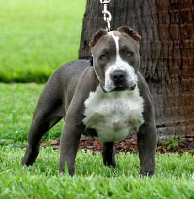 blue nose pitbull puppies for sale in florida blue pitbulls for sale bluenose pit bulls puppies for sale