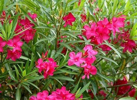 fiori oleandro potatura oleandro potatura come potare l oleandro