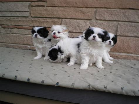 japanese chin puppies for adoption japanese chin puppies for for sale adoption from seattle washington king