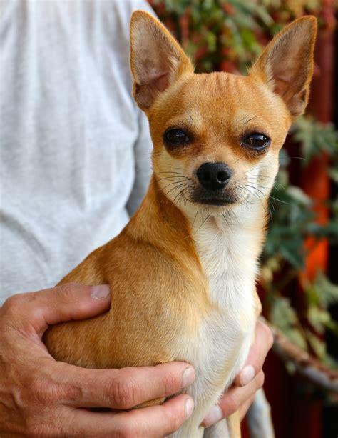 nedlasting filmer amores perros gratis bildet virveldyr chihuahua hunderase hund som