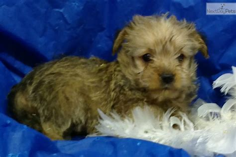 Do Morkie Puppies Shed by Gingie Morkie Yorktese Puppy For Sale Near Baltimore