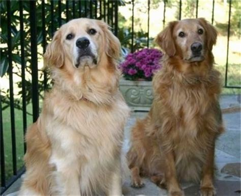 max golden retrievers golden retriever breed information and pictures