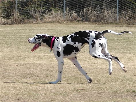 great dane dogs running great dane photo and wallpaper beautiful running great dane pictures