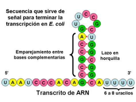 Dna 0 Resumen by Elgemelochavez 6 1 1 Etapas De S 237 Ntesis Arn