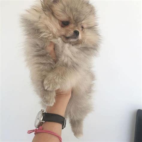 teacup pomeranian price uk best 25 pomeranian puppies for sale ideas on pomeranian for sale tiny