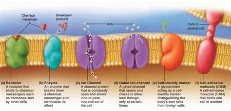 3 proteins in the cell membrane cell membrane plasma membrane structure function and