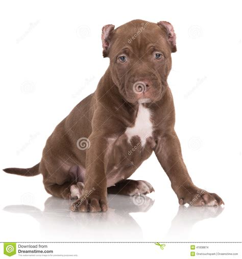 brown pitbull puppies adorable chocolate brown pit bull puppy stock photo image 41838874