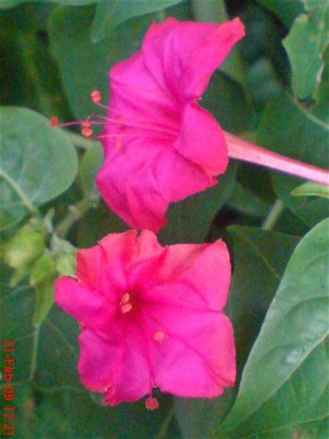 tentang sma  edukasi tanaman bunga pukul empat