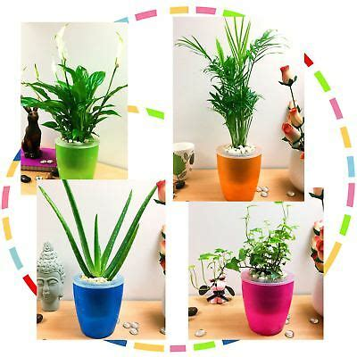 easy care table plant  colouful  watering pot