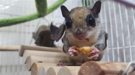 scoiattolo volante domestico scoiattolo volante il mammifero ama planare da un