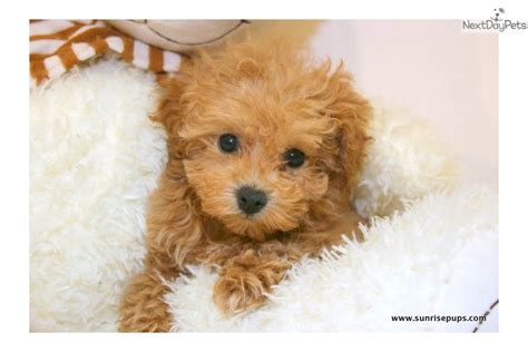 brown maltipoo puppies brown teacup maltipoo puppies teacup maltipoo maltipoo and teacup