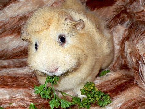 guinea pug guinea pig guinea pigs wallpaper 15107232 fanpop