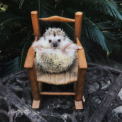 pictures  show hedgehogs   cutest