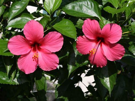 Sepatu Bunga Bunyi 19 manfaat bunga kembang sepatu seruni id