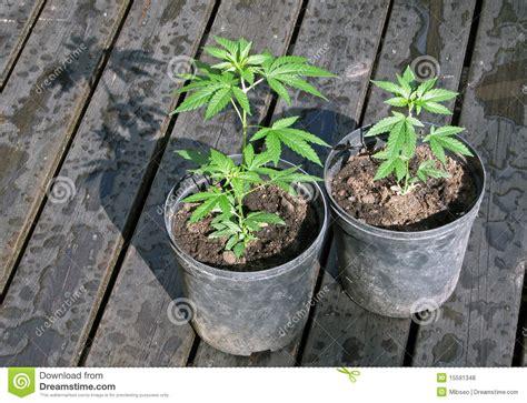 coltivare cannabis in vaso piante conservate in vaso della canapa fotografia stock