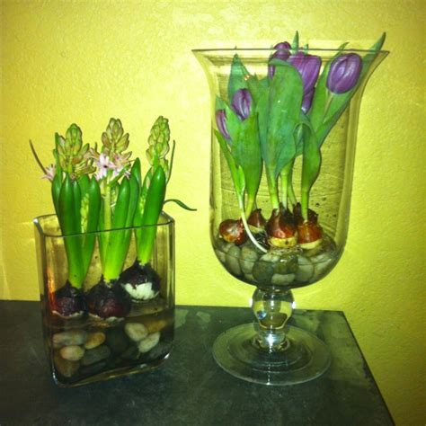 Growing Bulbs In A Vase by 37 Best Images About Tulips On How To Grow