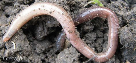 Worms In Vegetable Garden Earthworms An Essential Part Of Any Vegetable Garden