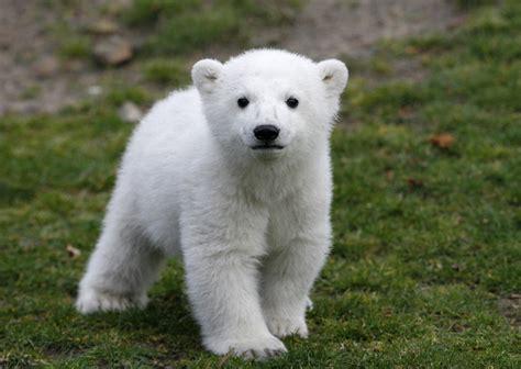 Bears White beloved polar knut dies at berlin zoo nola