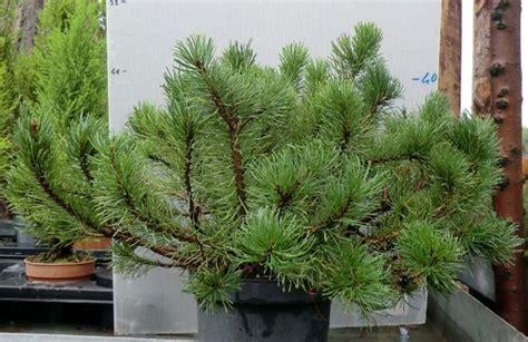 pino nano in vaso pino mugo nano piante sempreverdi balcone