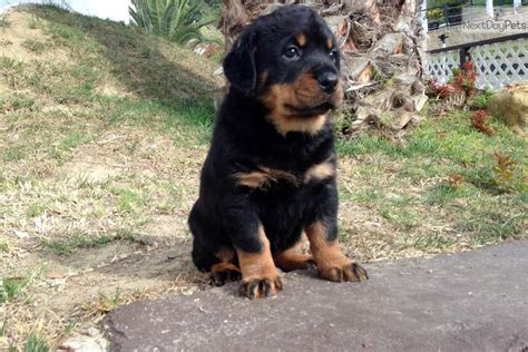 rottweiler puppies for sale in san diego rottweiler puppy for sale near san diego california cc938c91 4551