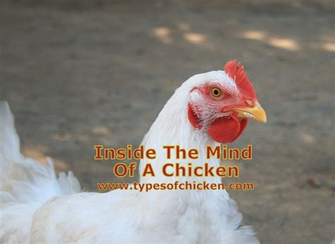 The Chicken Keeper S Problem Solver inside the mind of a chicken types of chicken