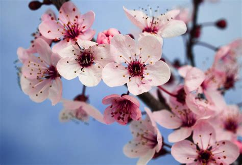 plum blossom tree new year new year decorations and flowers for luck
