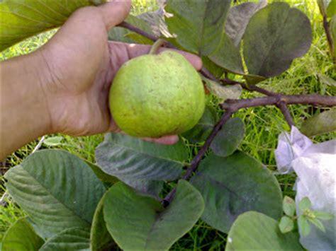 Pupuk Untuk Merangsang Bunga ayo berkebun jambu biji sukun merah susah berbuah