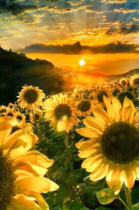 17 best ideas about sunflower fields on best 25 sun flowers ideas on summer