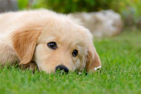 therapy golden retrievers golden retriever ottimo per la pet therapy quattro ze