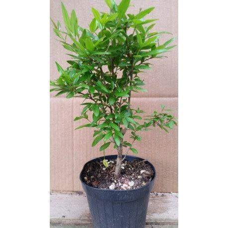 melograno in vaso pianta melograno in vaso punica granatum