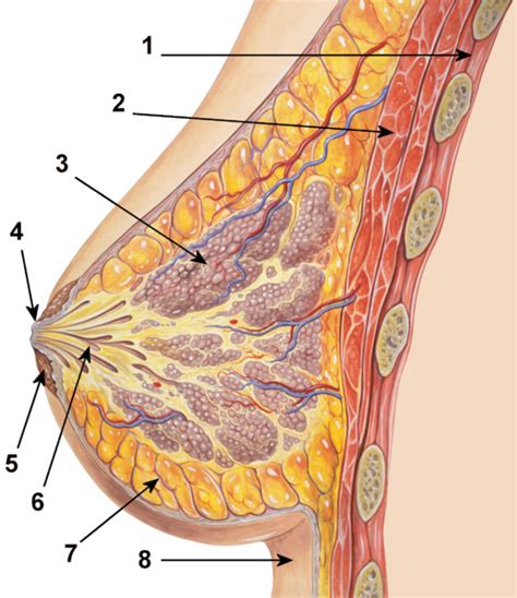 diagram of the breast breast anatomy diagram