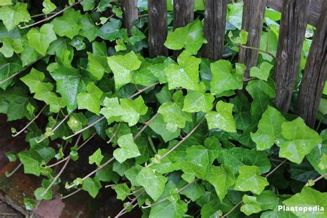 ivy plant hedera helix   care  grow indoors