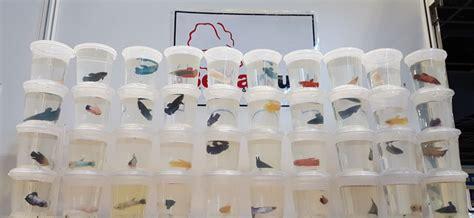 Rak Ikan Cupang bebeja aquarama 2015 3 gelas plastik cupang bebeja