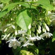 Tanaman Hias Bunga Azalea Gumpo White 1000 images about tanaman hias bunga on mophead hydrangea vines and trumpet