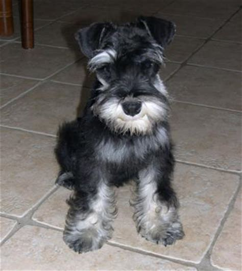 image gallery schnauzer haircuts mini schnauzer haircut styles search results hairstyle