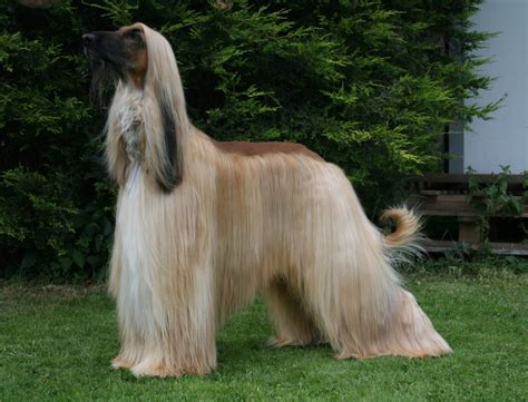 Afghan Hound by Afghan Hound Info Temperament Mixes Puppies
