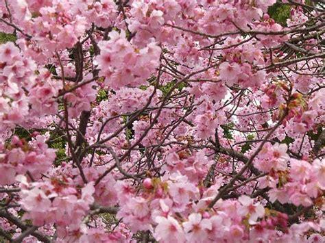sfondi fiori di ciliegio fiori di ciliegio significato e immagini idee green