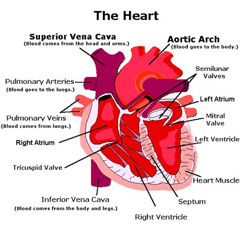 4 sections of the heart lesson 8 the circulatory system