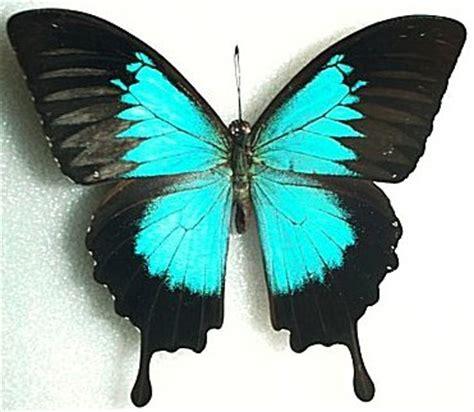 imagenes mariposas grandes mariposas diurnas monografias com