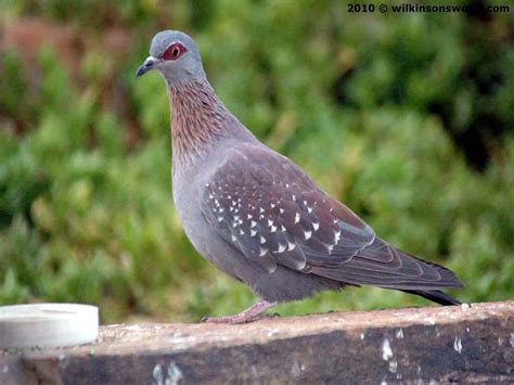 rock dove wilkinson s world