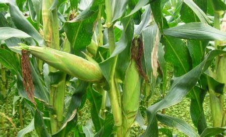 Pakan Ternak Pohon Jagung sky fly ciri ciri manfaat tanaman jagung