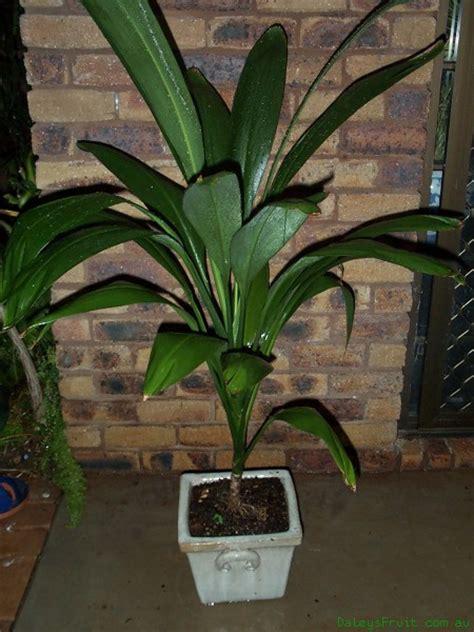 broad leaf tropical house plants cordyline petiolaris broad leaved palm tree