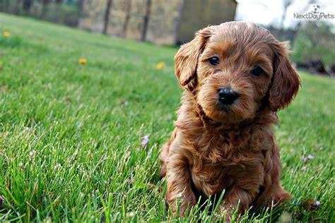 puppies for sale in philadelphia 300 labradoodle puppy for sale near philadelphia pennsylvania e53cce2c b761