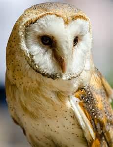 barn owl free photo barn owl predator bird free image on