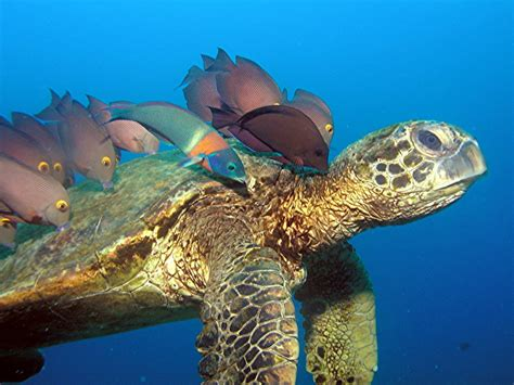 sea camp hawaii sea turtles jack s diving locker