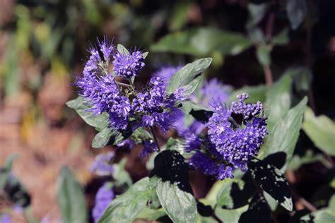 Fleurs Bleues Vivaces by Fleurs Bleues Vivaces Ete