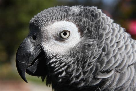 wallpaper grey birds all wallpapers grey parrots