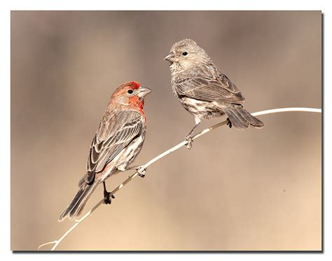 house finch male and female house finch male and female 169 larry selman house finch
