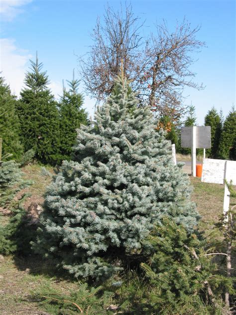 Pictures Of Silver Tip Trees